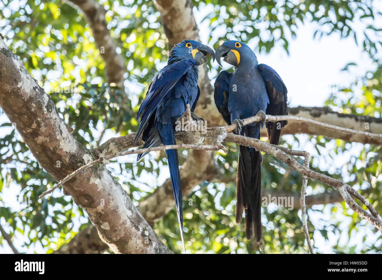 Par acoplado de guacamayos jacintos demostrar afecto como ellos se encaraman a un árbol en la región del Imagen De Stock