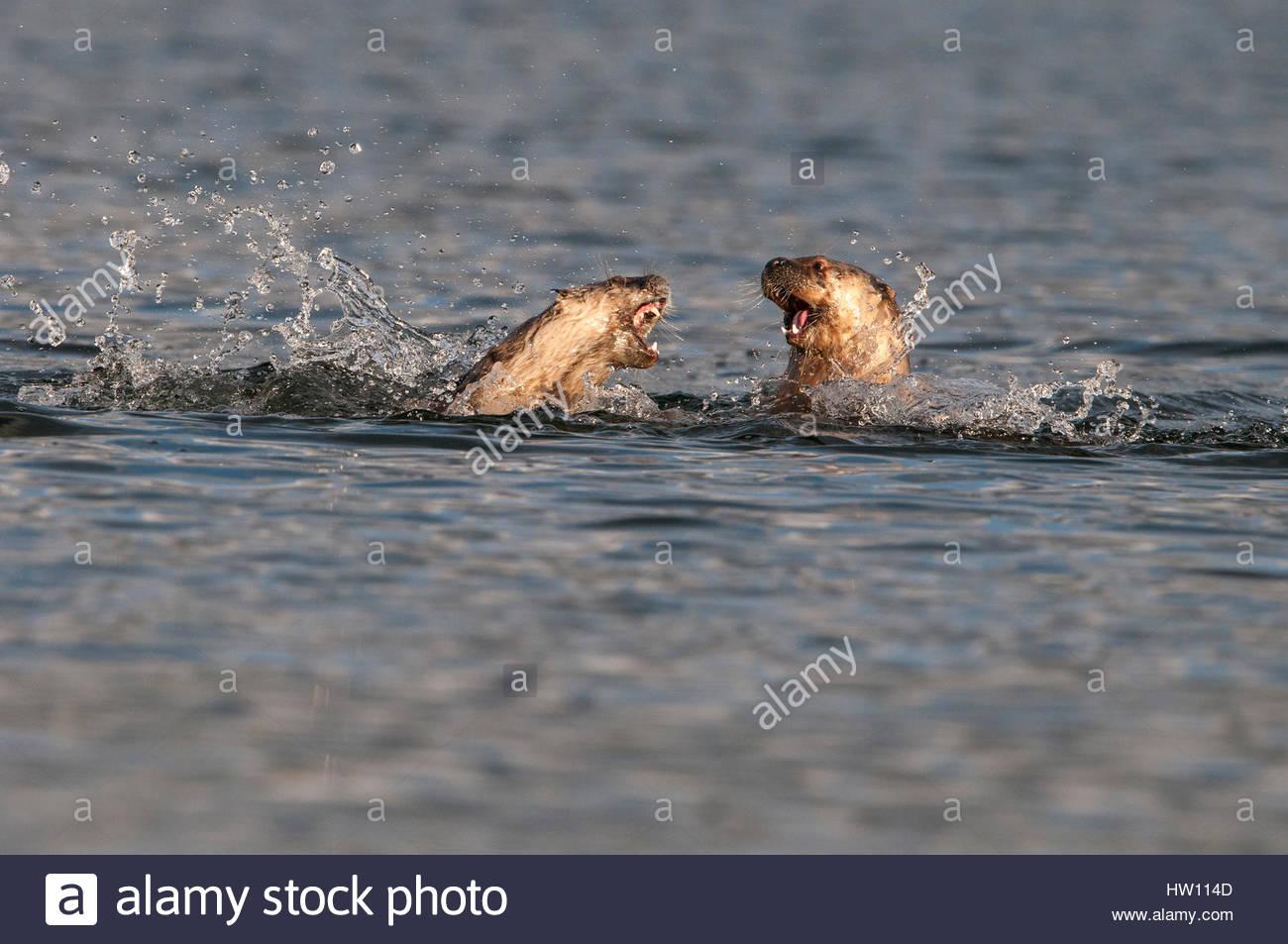 Una nutria de río lucha gira feroz en su lucha en el río. Imagen De Stock