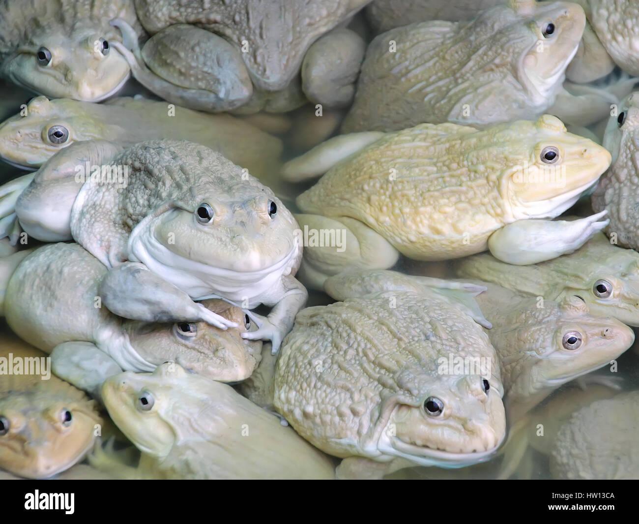 Ranas en la granja - Chino comestible, RANA rana toro de Asia oriental, la taiwanesa frog Imagen De Stock