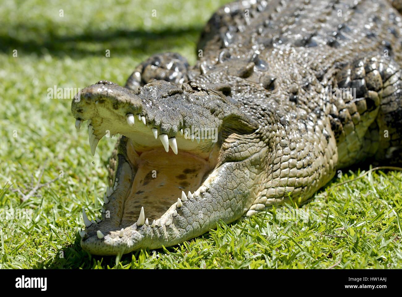 Cocodrilo, Krokodil Foto de stock