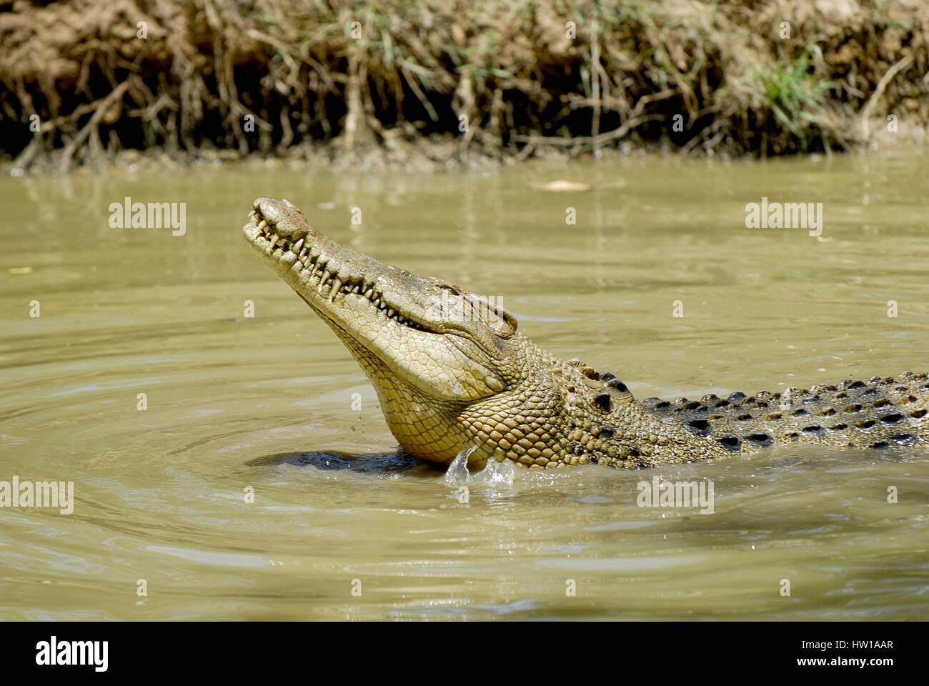Krokodil Foto de stock