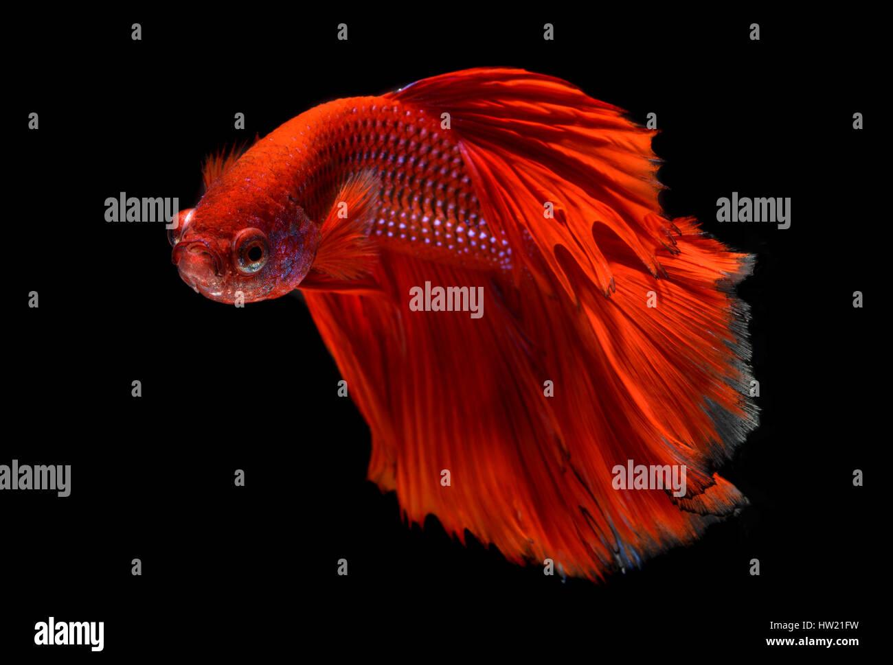 Acción de Haft luna roja larga cola Betta peces o la lucha contra los peces siameses foto en flash iluminación de estudio. Foto de stock