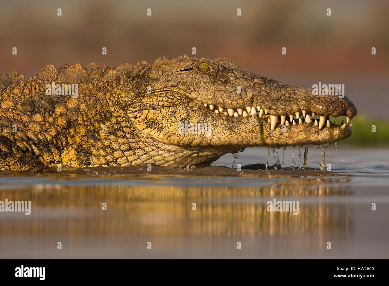El cocodrilo del Nilo (Crocodylus niloticus) Zimanga Private Game Reserve, KwaZulu-Natal, Sudáfrica, septiembre Imagen De Stock