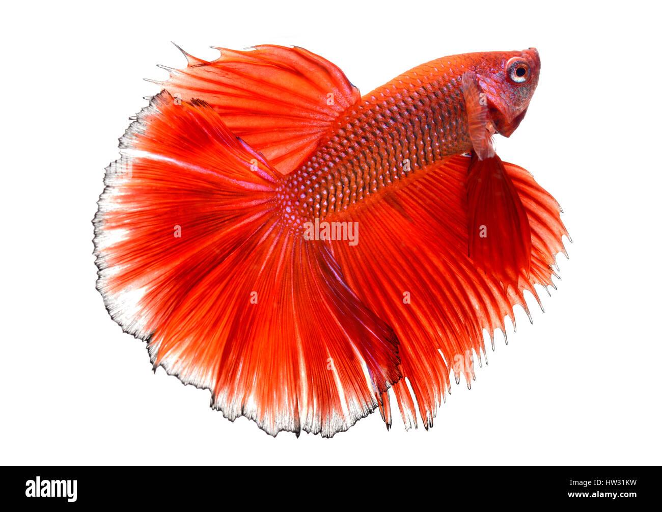 Betta peces en libertad de acción y mostrar la hermosa foto de cola de aletas en flash de iluminación. Imagen De Stock