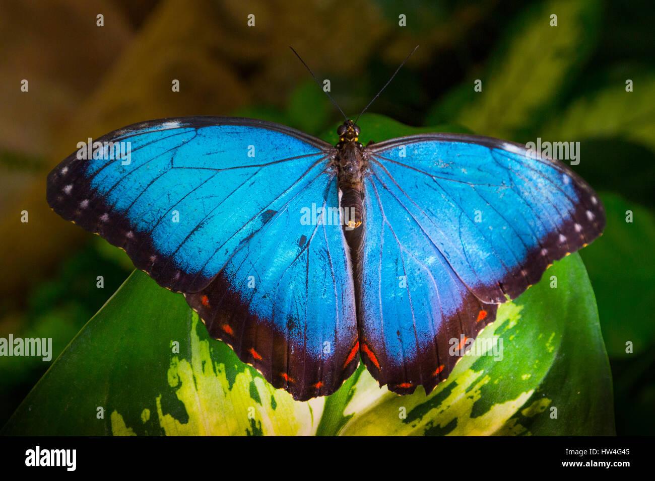 Mariposa Morpho azul relajante en una hoja. El Parque de las mariposas de Benalmadena, Costa del Sol, Málaga, Imagen De Stock