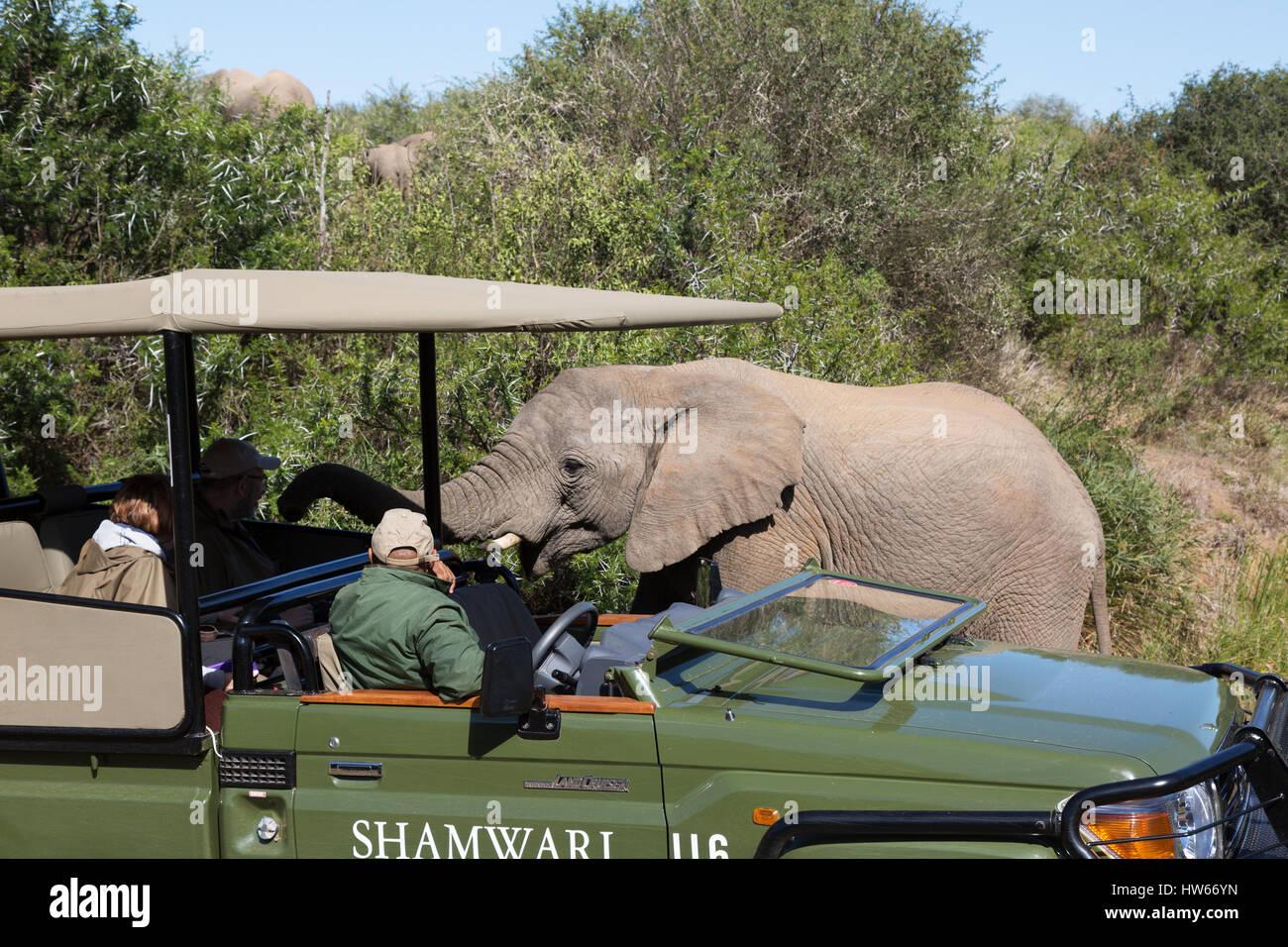 Sudáfrica safari elefante - saludo a los turistas en un safari en jeep, Shamwari Game Reserve, Eastern Cape, Imagen De Stock