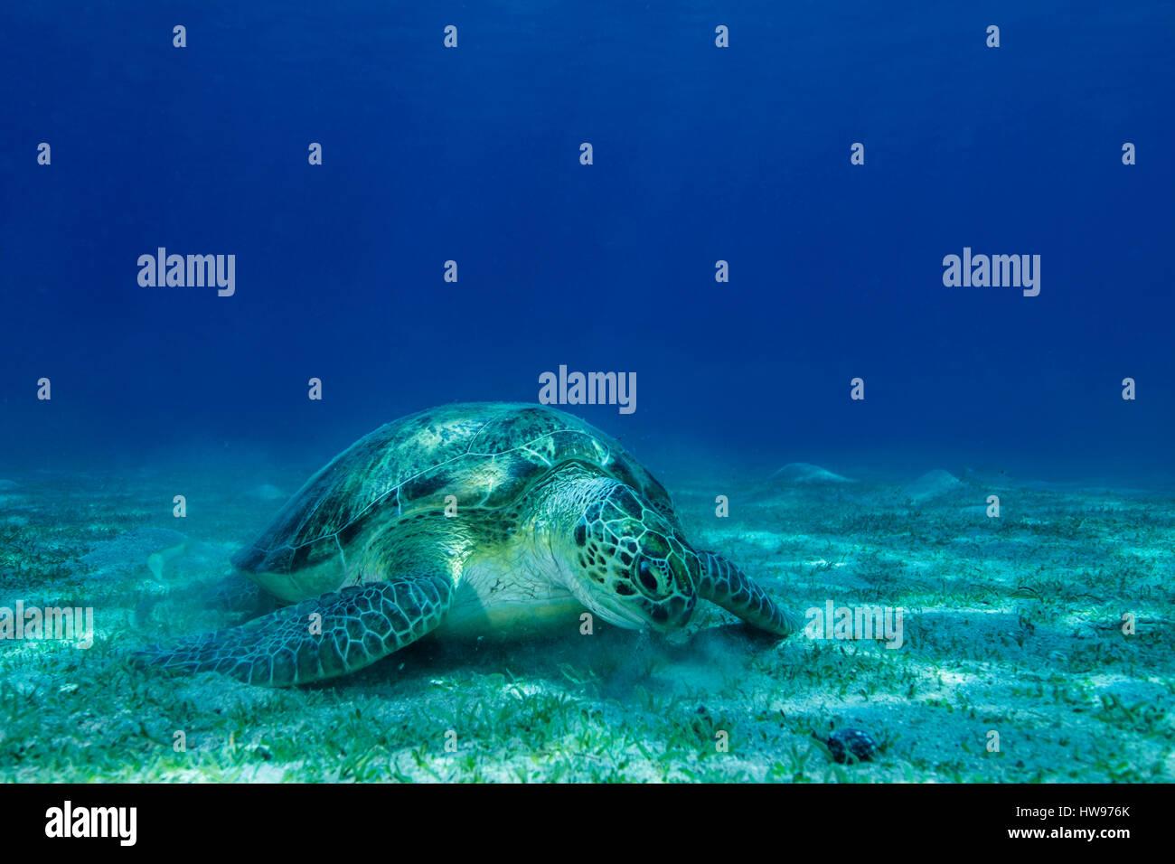 La tortuga verde (Chelonia mydas) sobre un suelo arenoso, Mar Rojo, Ägyten Imagen De Stock