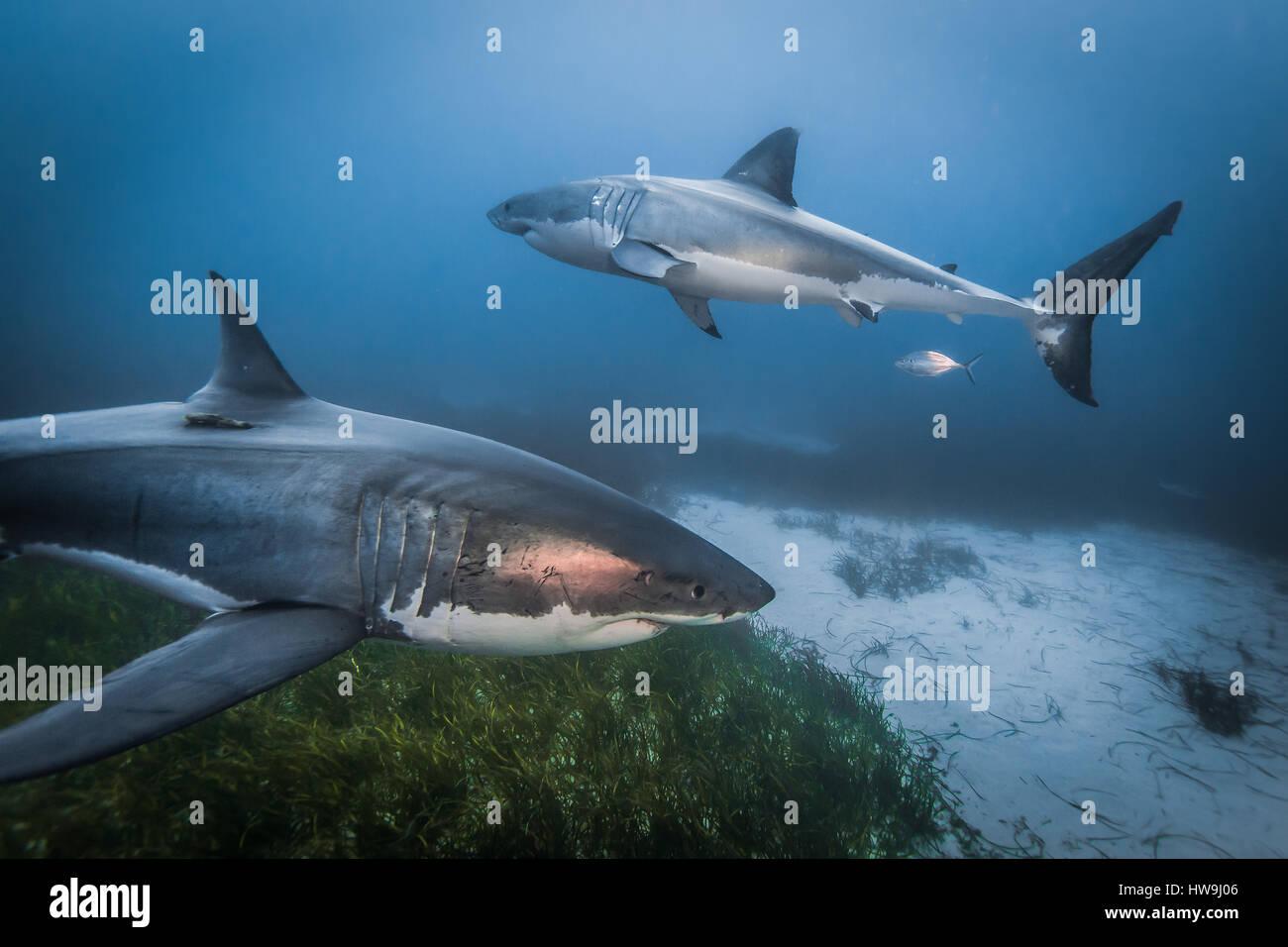 Fox Shark Imágenes De Stock & Fox Shark Fotos De Stock - Alamy