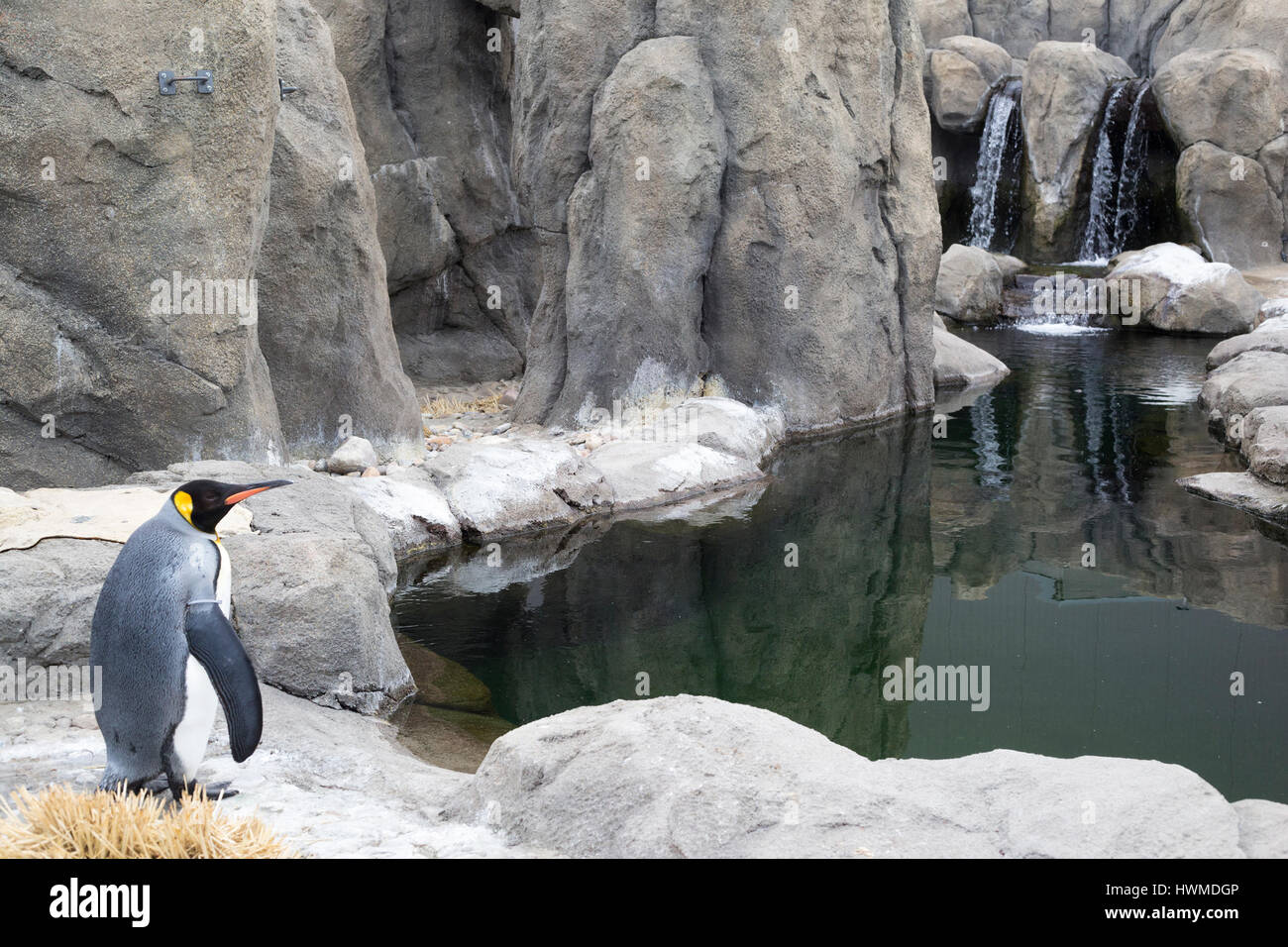 Pingüino Rey (Aptenodytes patagonicus) en el recinto al aire libre con piscina en el zoológico de Calgary. Foto de stock