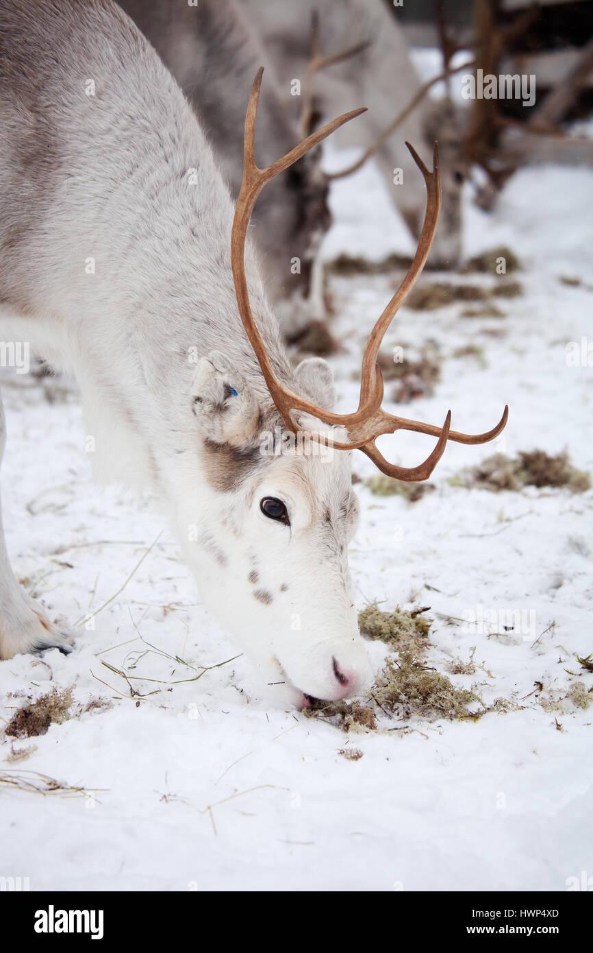 Fuera de renos en el parque de renos Foto de stock