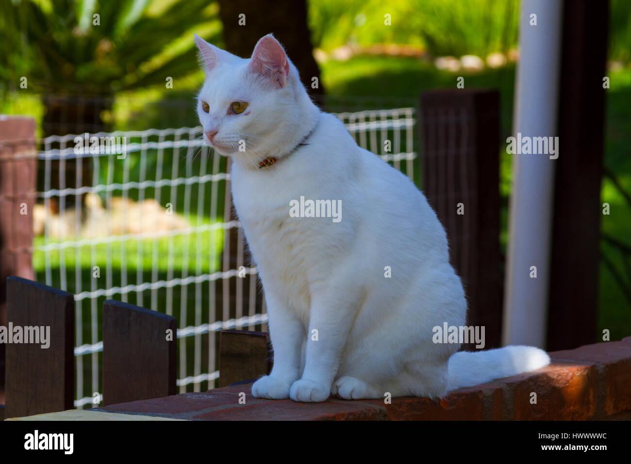 Curioso gato blanco sentado en la pared. Imagen De Stock