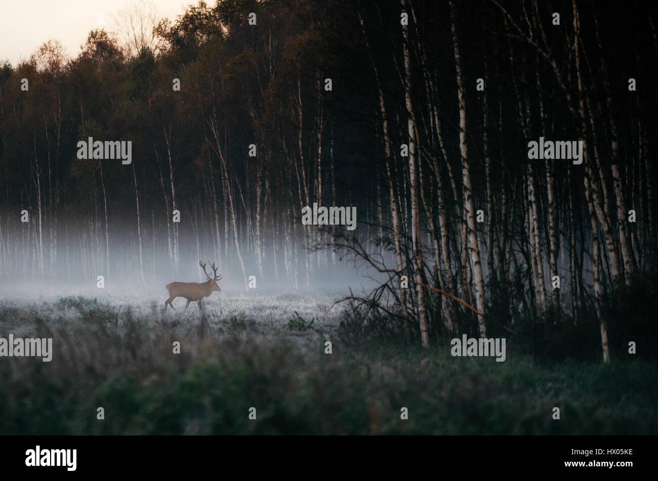 Bello ciervo ciervo va a brumoso bosque nebuloso paisaje en otoño en Belarús. Imagen De Stock