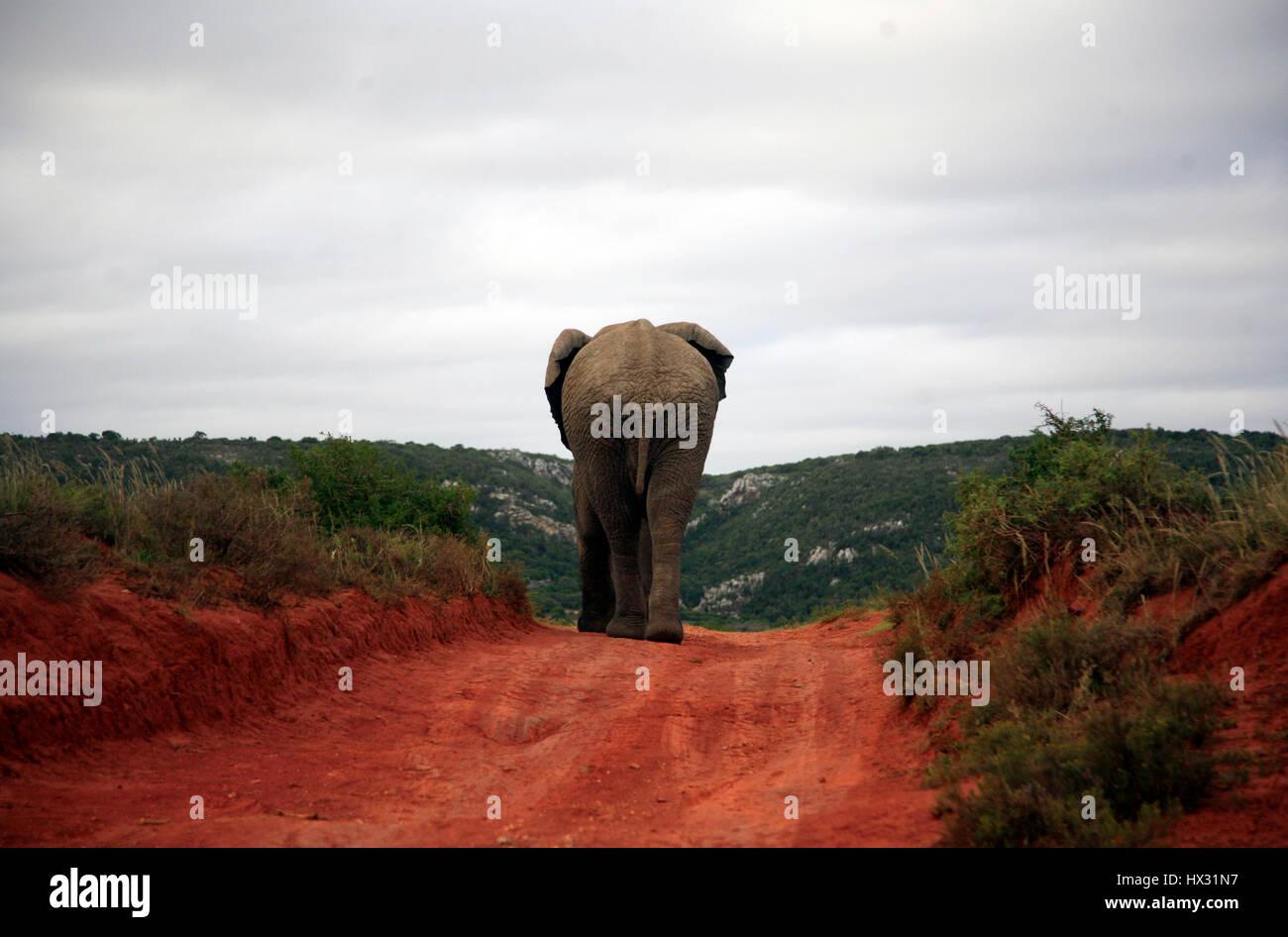 Un elefante camina por una pista, durante un safari en una reserva privada de caza en Sudáfrica, el 19 de marzo de 2017. © John Voos Foto de stock