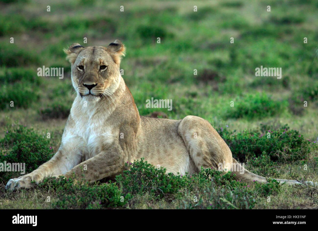 Una leona se sienta en el césped, durante un safari en una reserva privada de caza en Sudáfrica el 18 de marzo de 2017. © John Voos Foto de stock