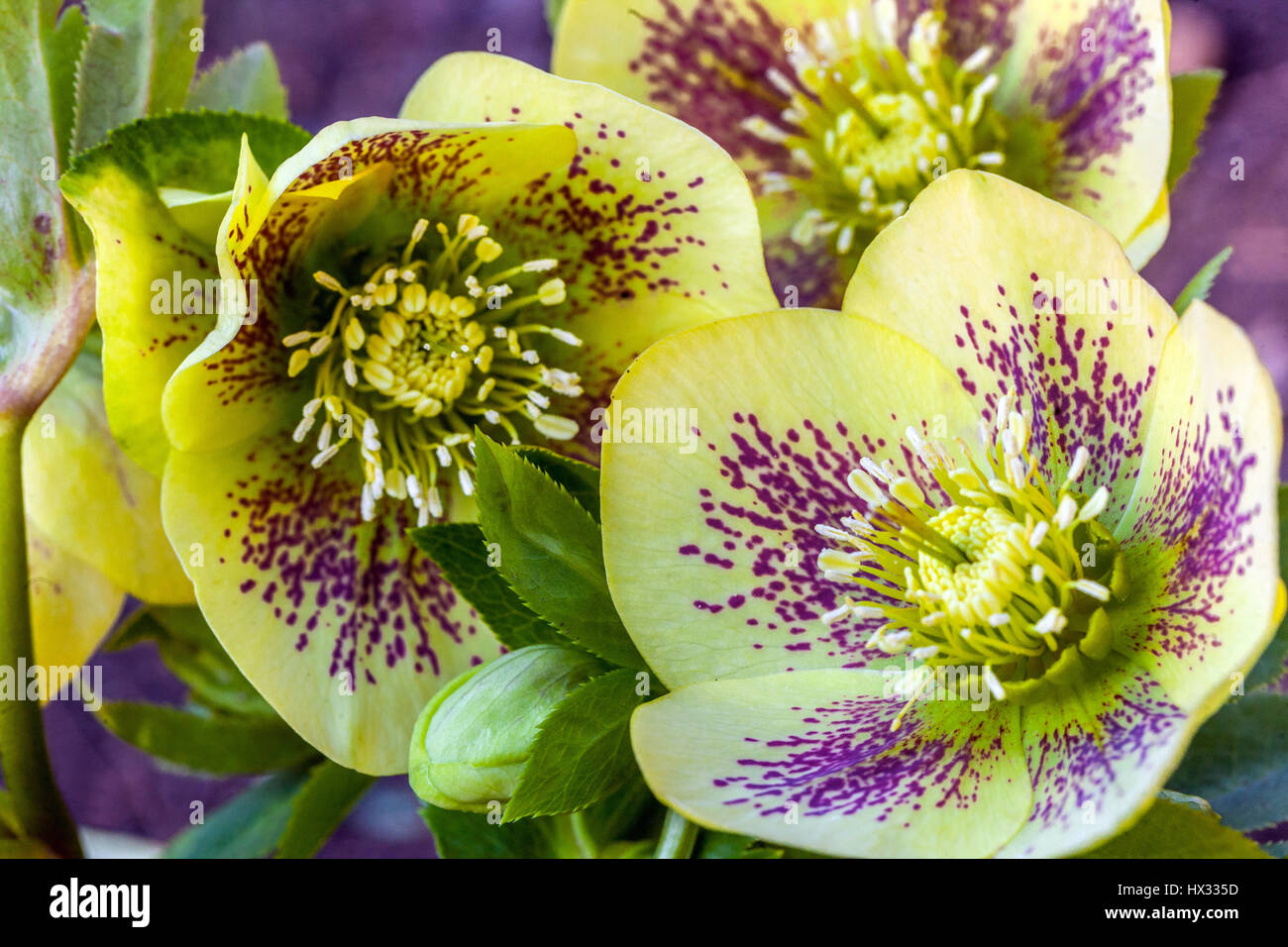 Helleborus orientalis 'Gelber Smetterling', Lenten Rose, Lenten hellebore, oriental hellebore en flor hellebores Foto de stock