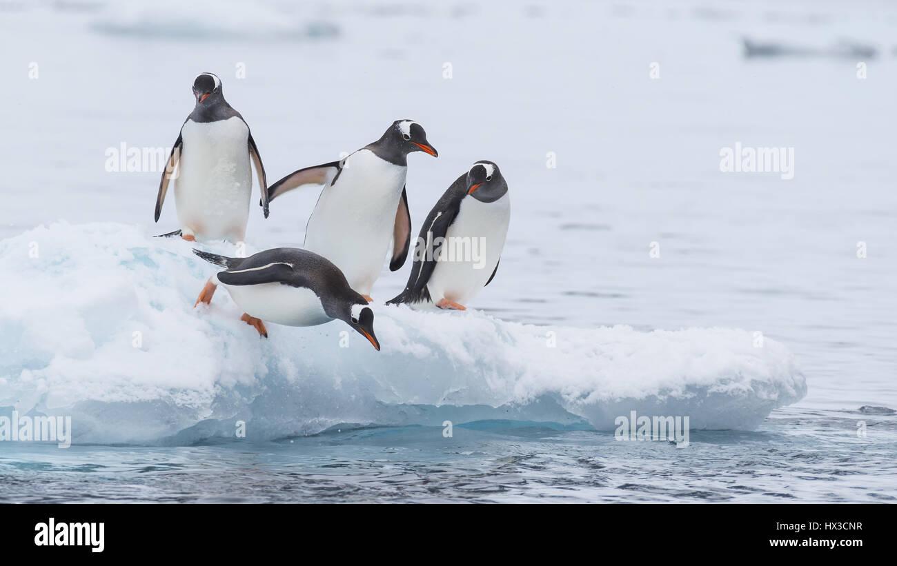 Pingüinos se ejecuta a través de la nieve en la Antártida Imagen De Stock