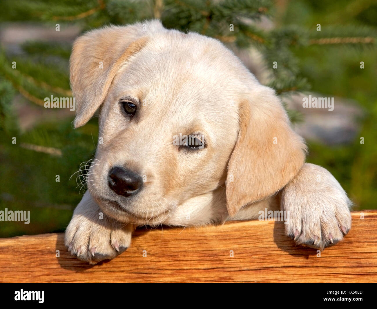 Lindo perrito Labrador Retriever amarillo mirando desde detrás de un tablón de madera. Imagen De Stock
