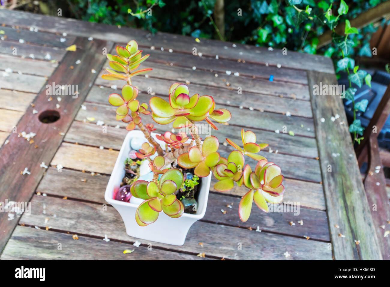 Jardín en el verano dinero planta en una maceta Imagen De Stock