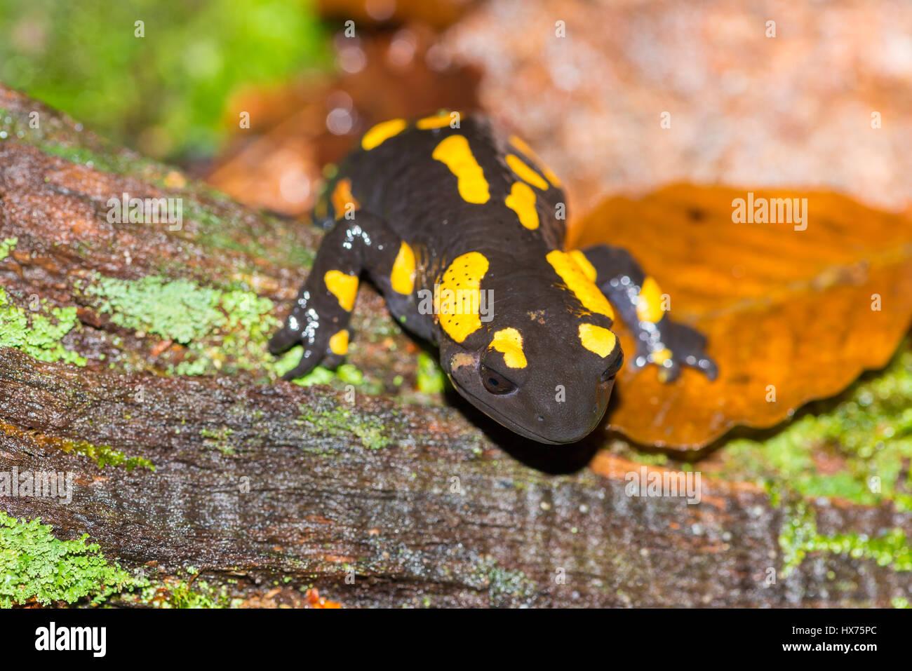 Salamandra Maculosa Imágenes De Stock & Salamandra Maculosa Fotos De ...