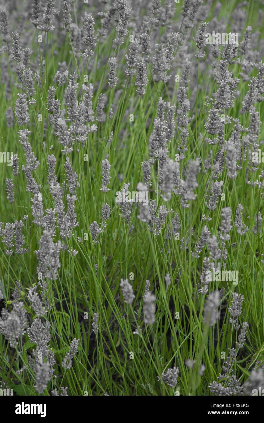 Planta de lavanda en primer plano el Lago Scanno Imagen De Stock