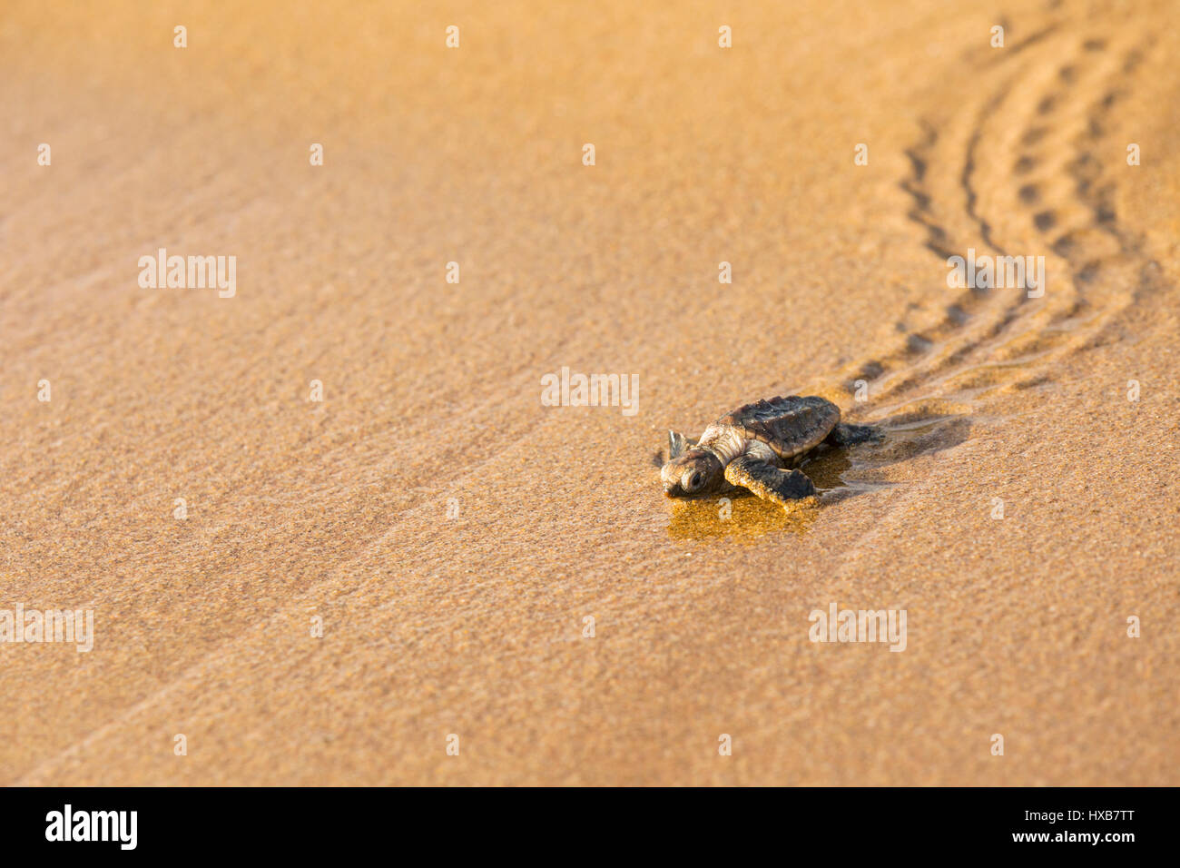 Bebé caguama (Caretta caretta) haciendo su camino hacia el mar. Mon Repos Conservation Park, Bundaberg, Queensland, Imagen De Stock