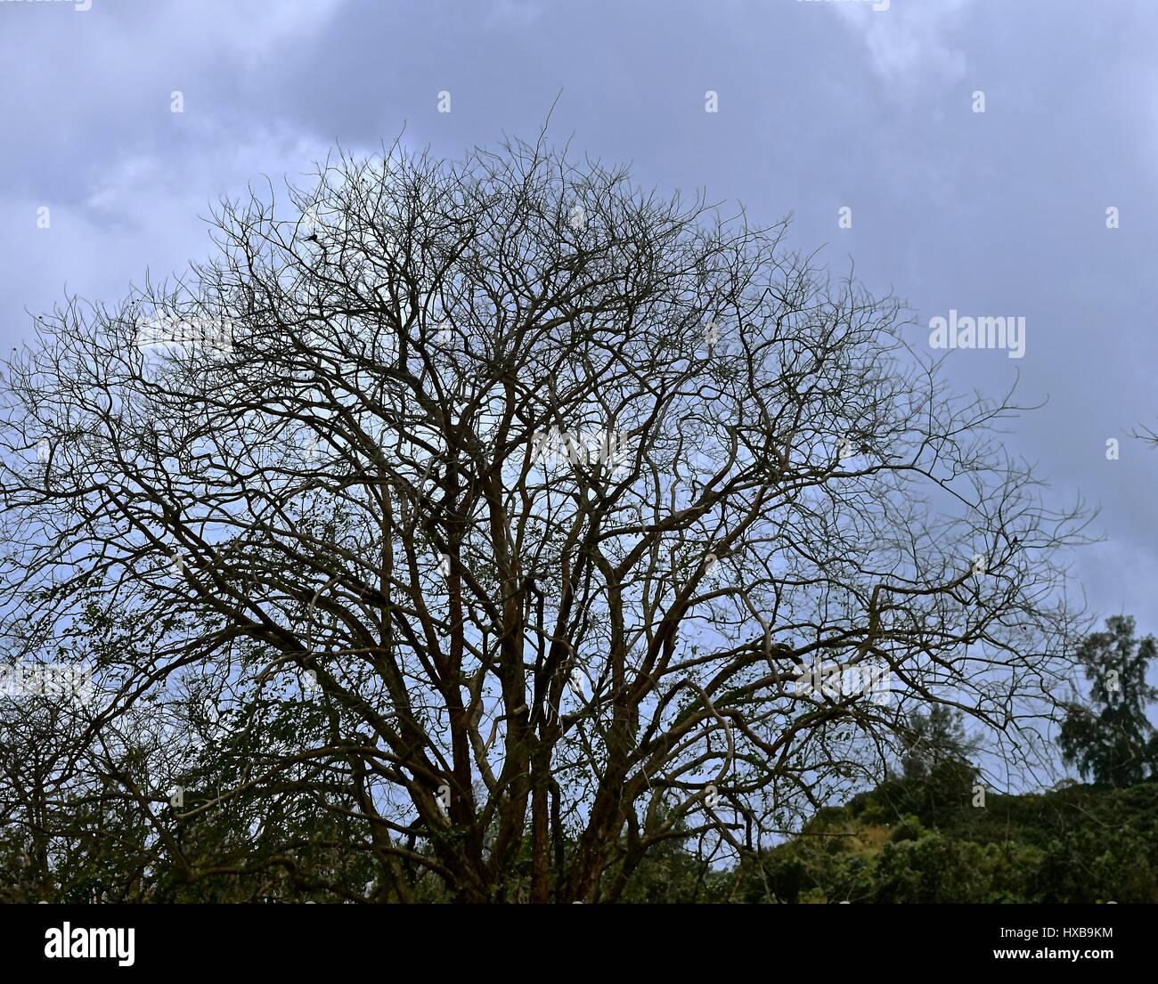 Árbol desnudo / árbol deshojado significando la tristeza o la muerte. Imagen De Stock