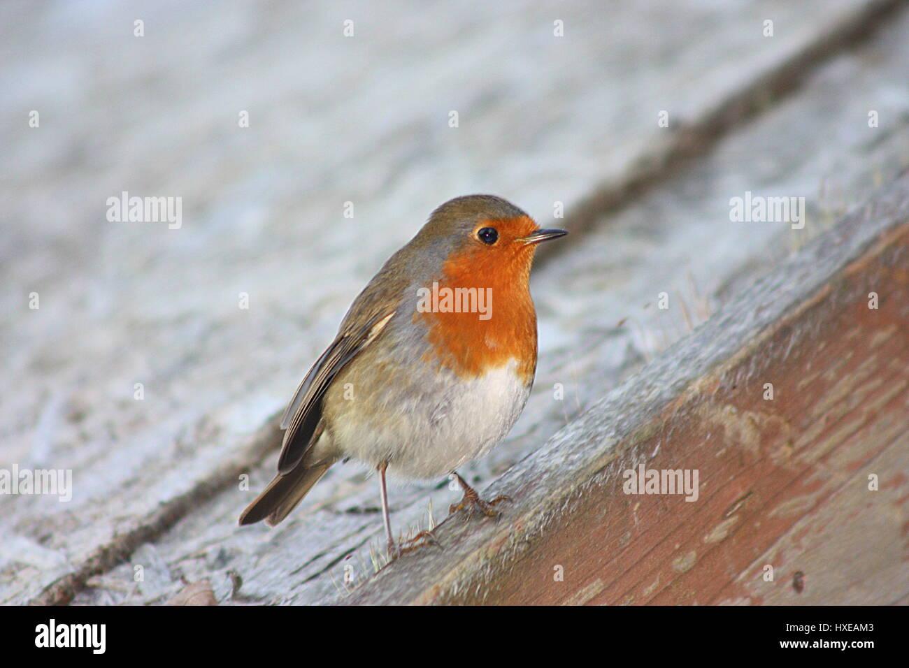 Cierre de un rojo robin británico fuera encaramado en un cobertizo techo Imagen De Stock