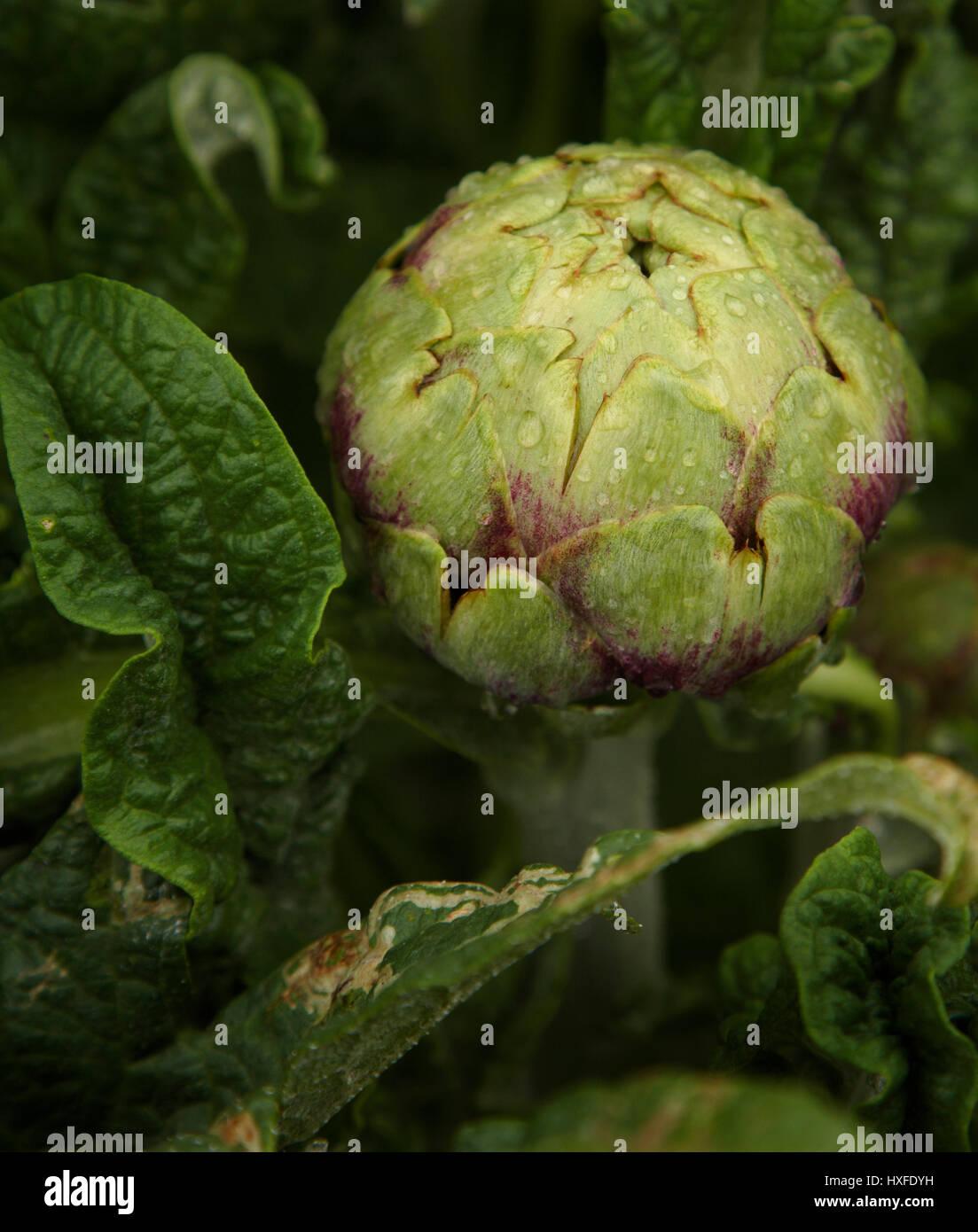 Verde brillante alcachofas crecen en parche vegetal Cynara cardunculus Imagen De Stock