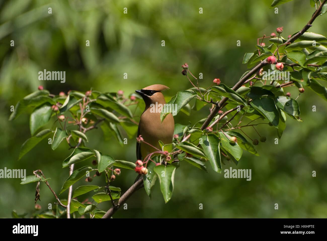 Un Cedar Waxwing Bombycilla cedrorum () encaramado en un árbol Serviceberry. Imagen De Stock