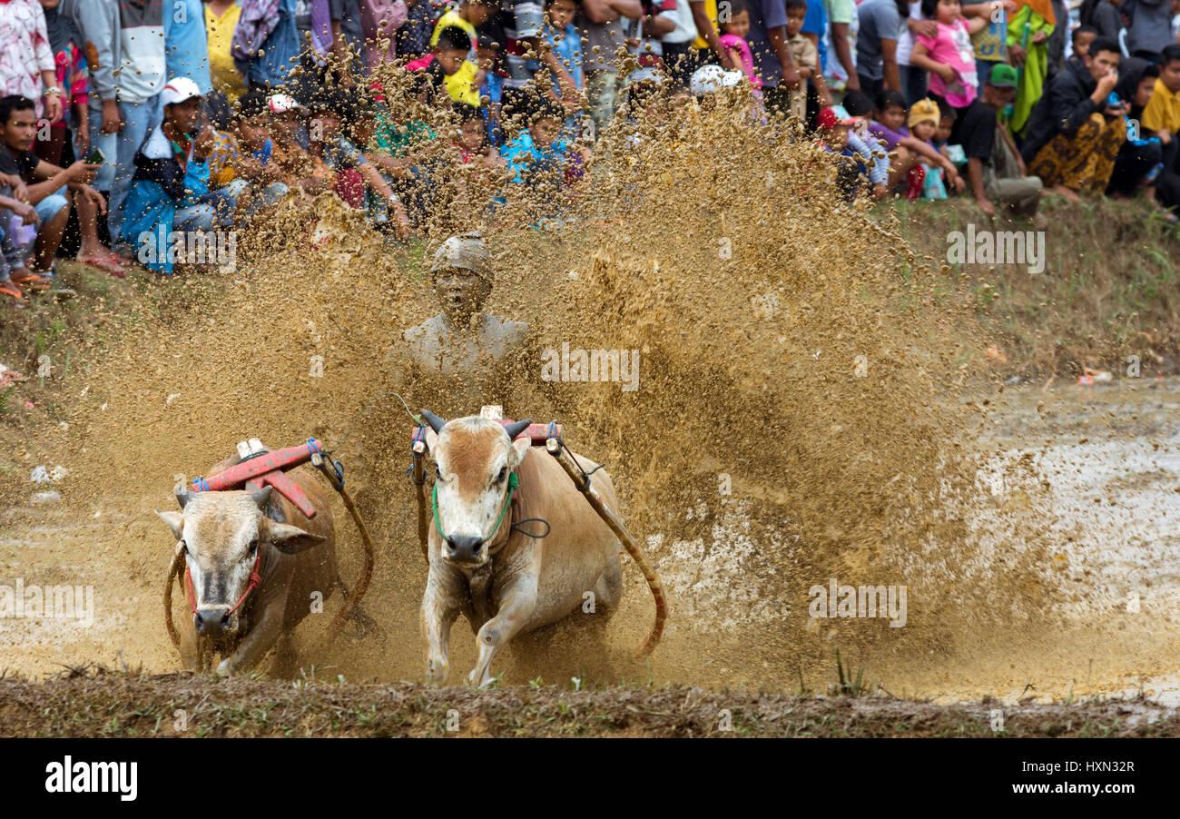 La tradición de barro racing sport Pacu Jawi vaca con multitud de espectadores. Foto de stock