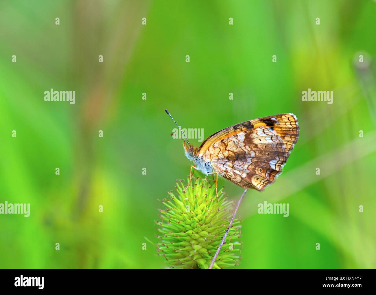 Una foto de cerca mariposas Checkerspot plateado Foto de stock