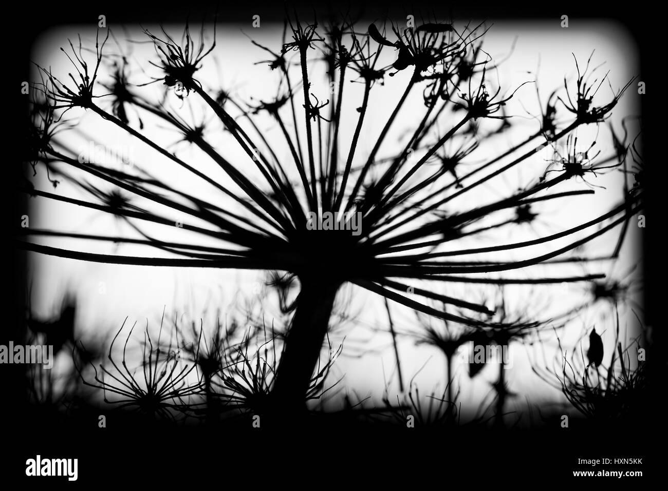 Seco oscuro Heracleum sosnowskyi flores, en blanco y negro ...
