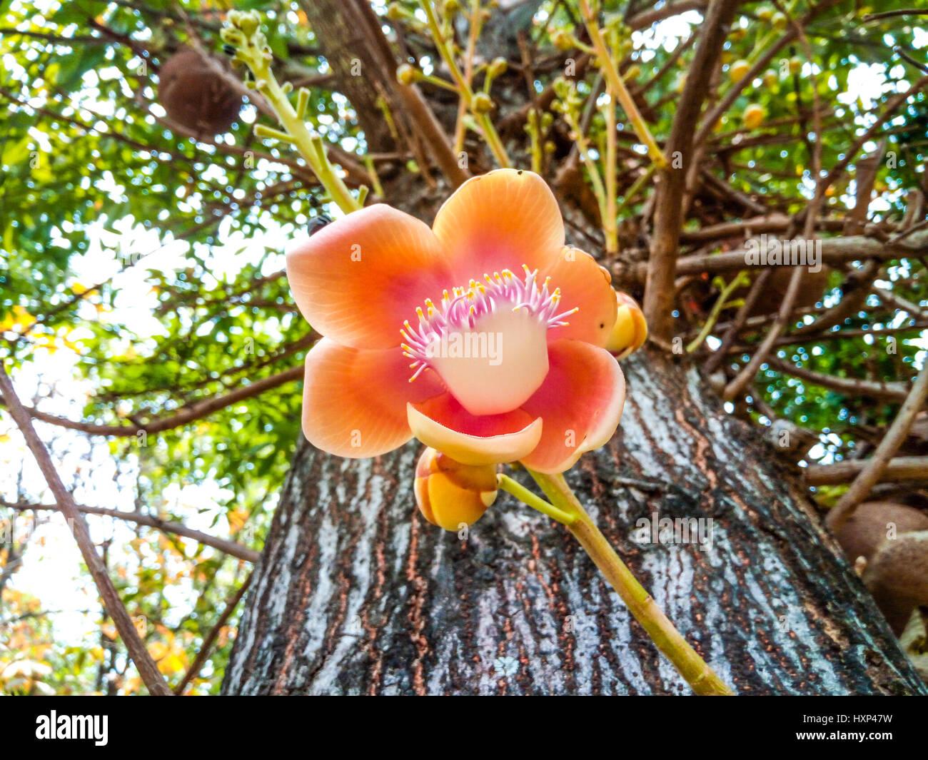 Acercamiento a la Shorea robusta Roxb./// Sakhuwan Shal Sal de la India/ Religiosa/ Dipterocarpaceae Flor Foto de stock