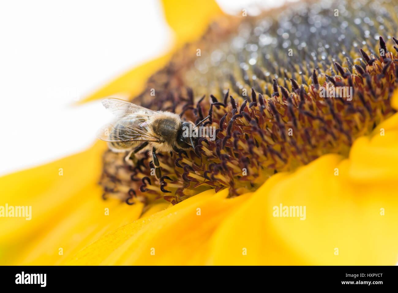Extreme close-up de abeja / la abeja melífera (Apis mellifera) insecto recogiendo polen de un girasol Foto de stock