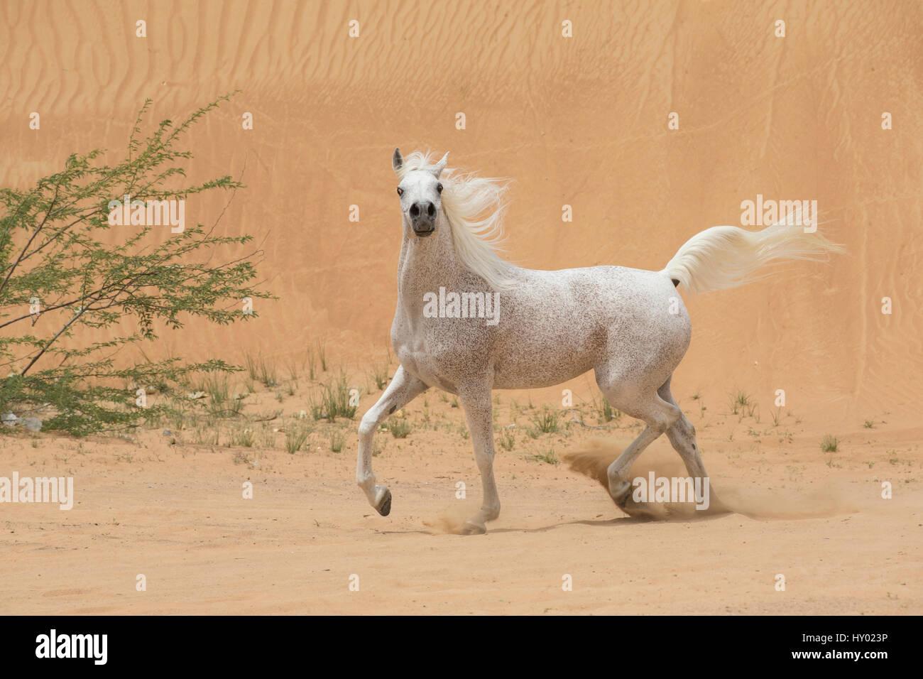 Gris semental Arabain trote en dunas del desierto cerca de Dubai, Emiratos Árabes Unidos. Imagen De Stock