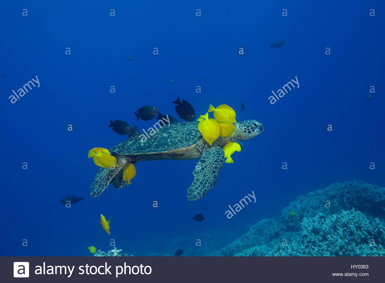 Tortuga Verde (Chelonia mydas) siendo limpiados por especies de peces herbívoros limpiador amarillo lengüetas Imagen De Stock