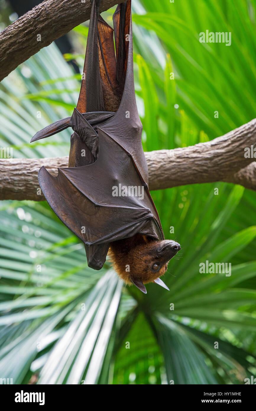 Flying fox malaya colgado boca abajo de una rama de árbol en el Biodome forestales frágiles en el Zoo de Singapur, Singapur Foto de stock