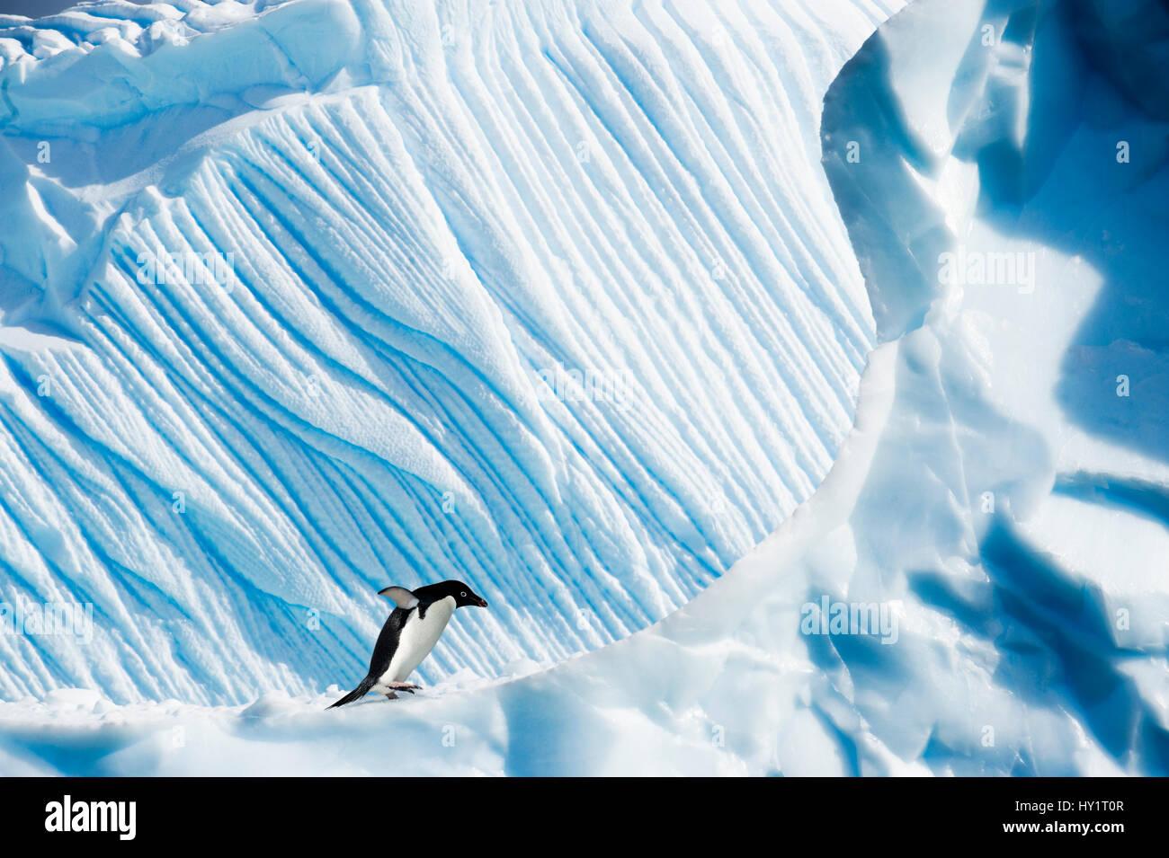 Pingüinos Adelia (Pygoscelis adeliae) en un iceberg. Islas Yalour, Península Antártica, en la Antártida. Imagen De Stock