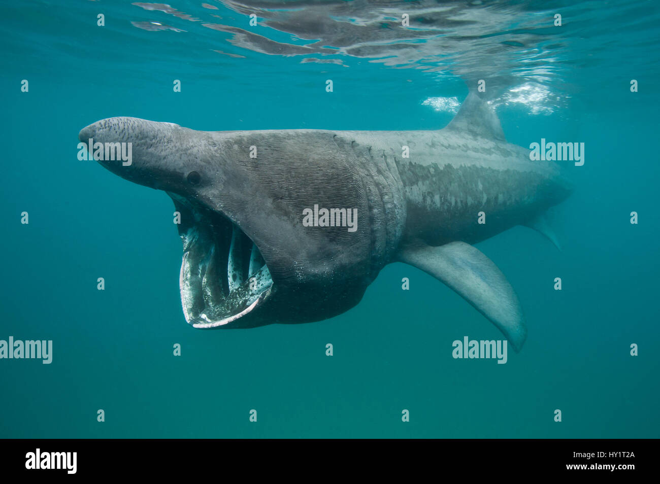 Tiburón peregrino (Cetorhinus maximus) alimentación en aguas poco profundas. Sennen Cove, Cornualles, en el Reino Unido. De junio. Foto de stock