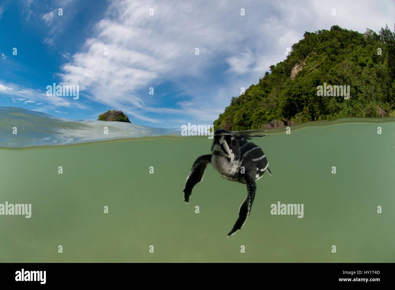 Split-nivel de captura de tortugas baulas (Dermochelys coriacea) bebé nadando en el mar cerca de la playa Warmamedi, Imagen De Stock