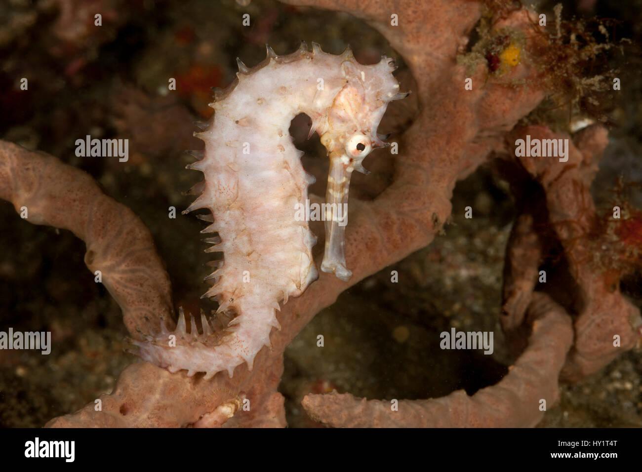 Espinosa (caballitos de mar Hippocampus hystrix) agarra una esponja con su cola. Estrecho de Lembeh, al norte de Imagen De Stock