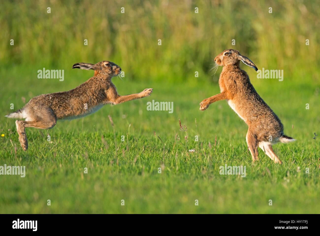 Liebres europeas (Lepus europaeus), boxeo, UK Foto de stock