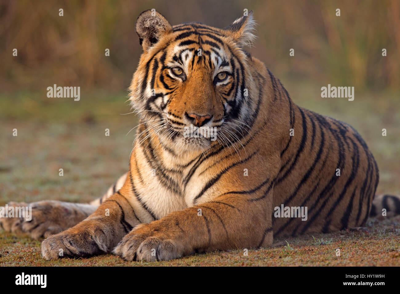 """Tigre de Bengala (Panthera tigris tigris) hembra """"T19"""" Krishna sentado, el Parque nacional de Ranthambore, Imagen De Stock"""