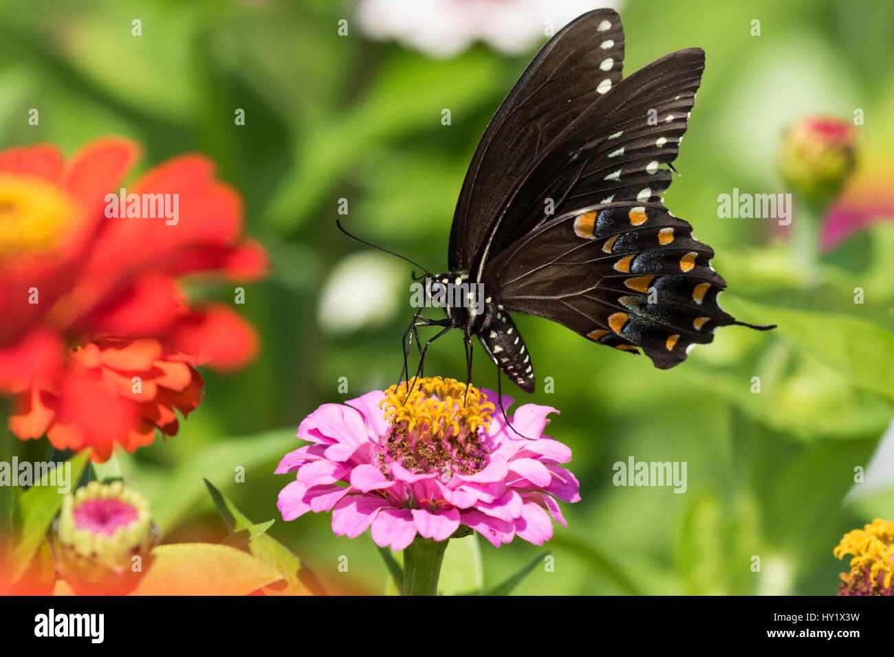 Especie Spicebush Butterfly (Papilio Troilo) nectaring sobre Zinnia en la granja de jardín, salvaje y libre. Madison, Foto de stock