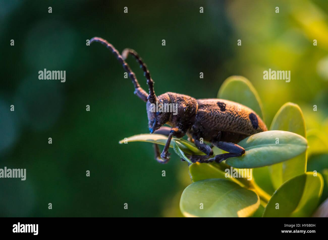Escarabajo marrón en la hoja macro rodada en color. Imagen De Stock