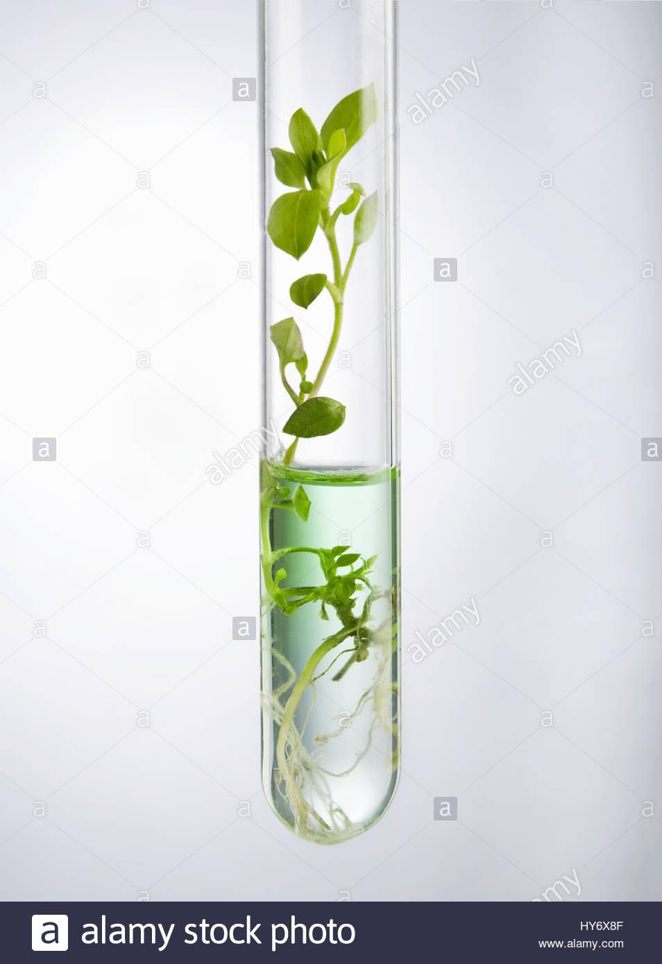 La investigación biotecnológica. Crecimiento de plántulas en el laboratorio realizando experimentos Imagen De Stock