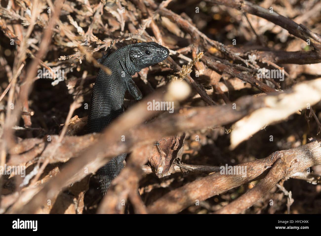 Variante de color melanistic inusual de lagarto ovíparos (también conocido como lagarto común Zootoca vivipara) en un sitio seco landa en Surrey, Reino Unido Foto de stock