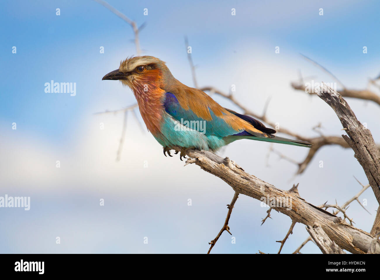 Lila-breasted rodillo (Coracias caudatus) Retrato Namibia Marzo Foto de stock