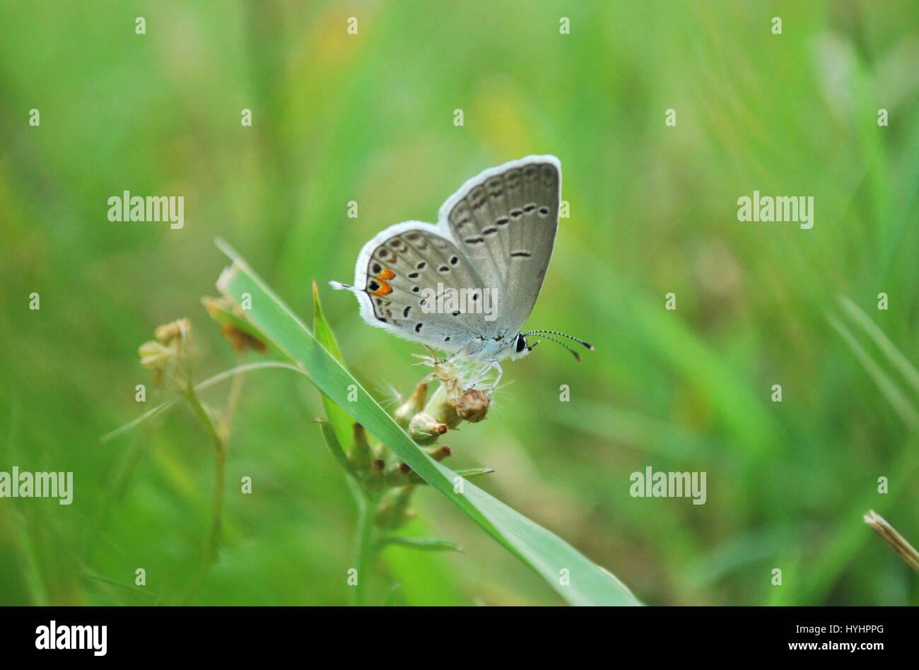 Oriental-cola mariposa azul Foto de stock
