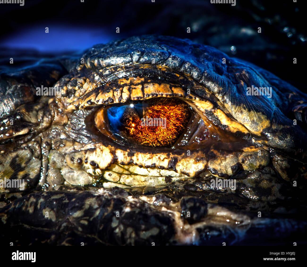 Un primer plano de un cocodrilo americano en los Everglades de Florida con reflejos del sol y el cielo en sus ojos. Imagen De Stock
